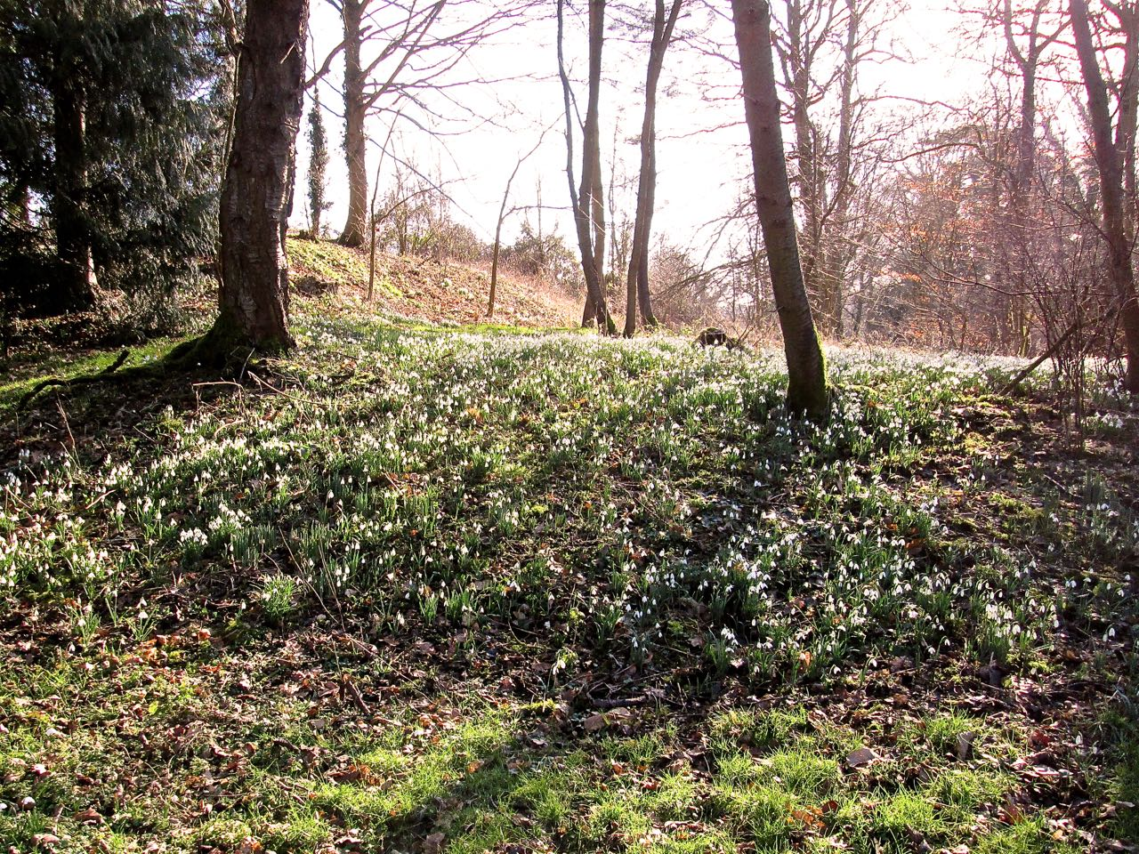 Snowdrops on February walk